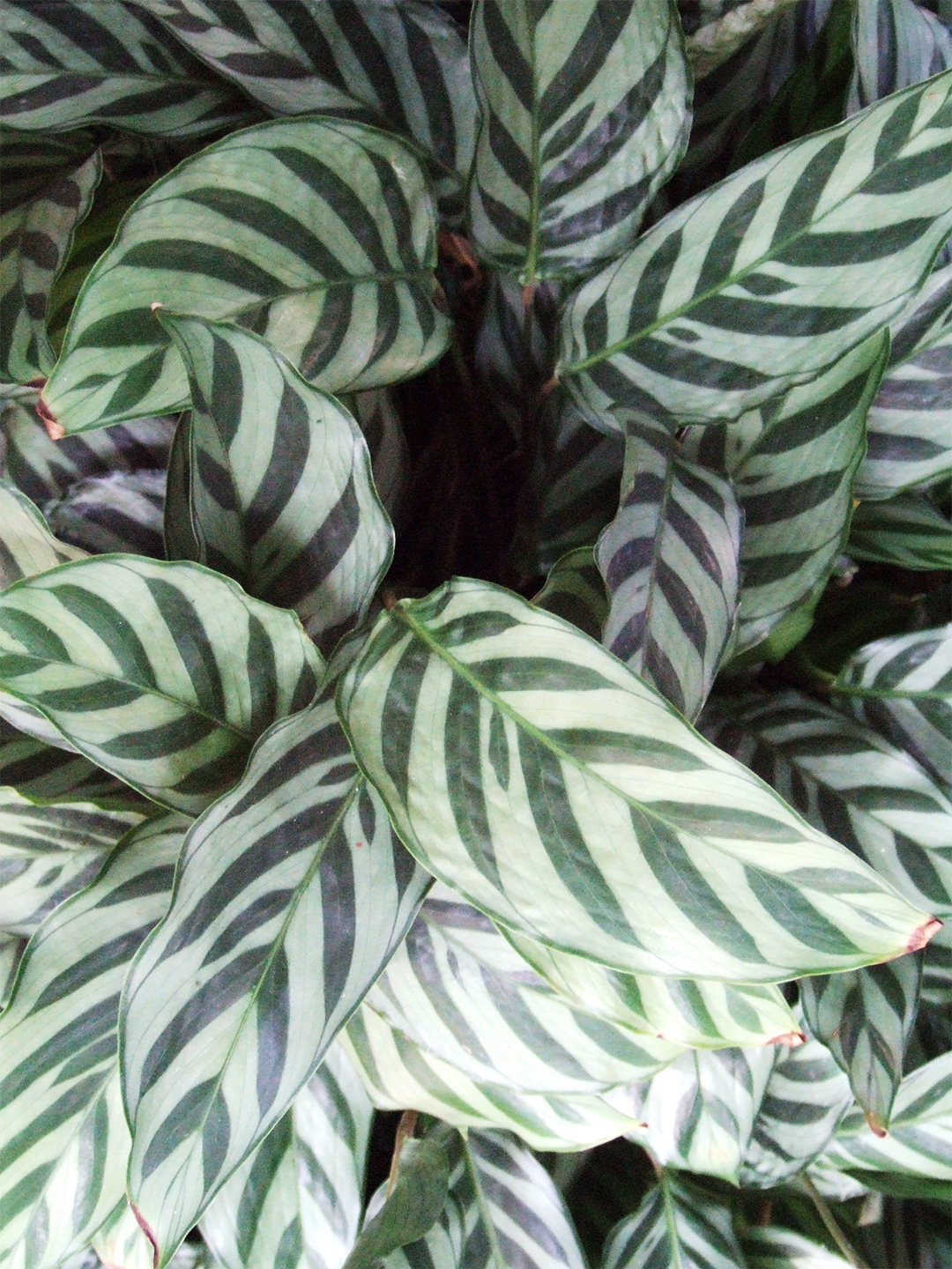 Calathea concinna plant with striped wide leaves