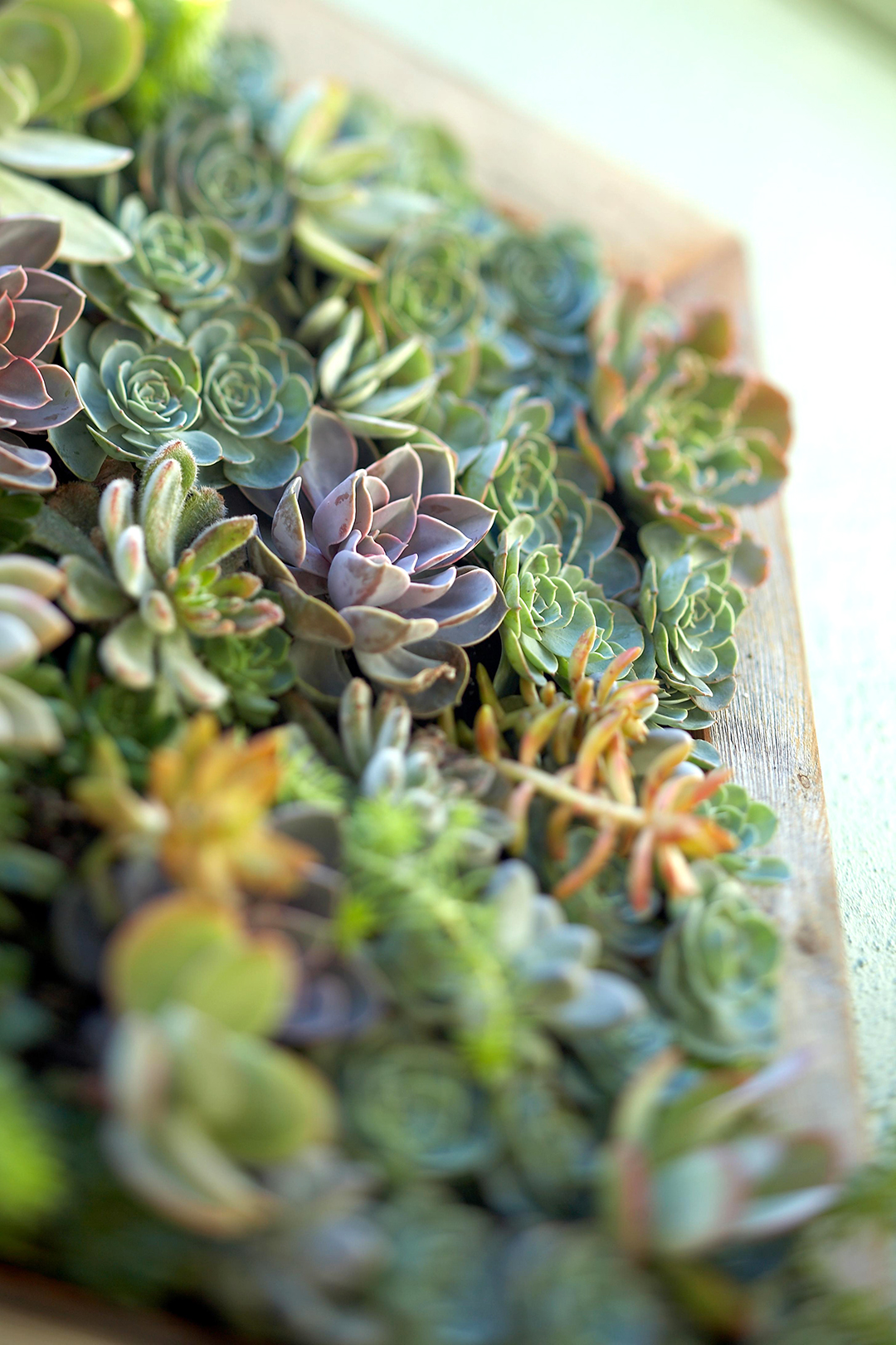 Flowerlike Rosettes Succulents In Wooden Box