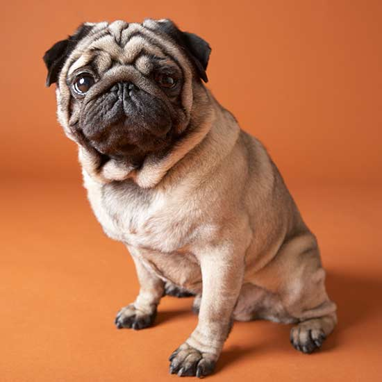 Dog-Care Facts Every Pug Owner Needs to Know