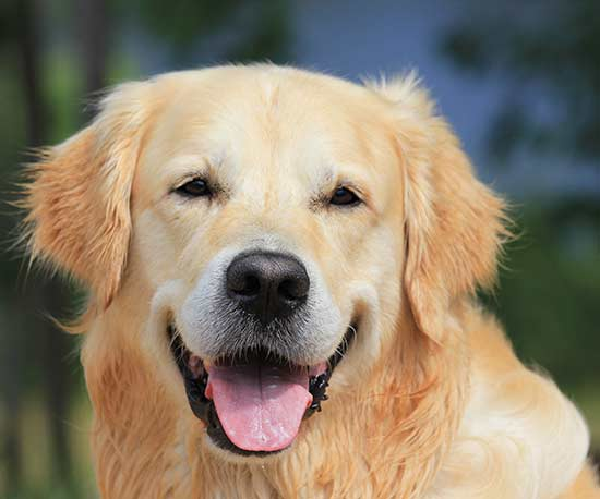 Dog-Care Facts Every Golden Retriever Owner Needs to Know