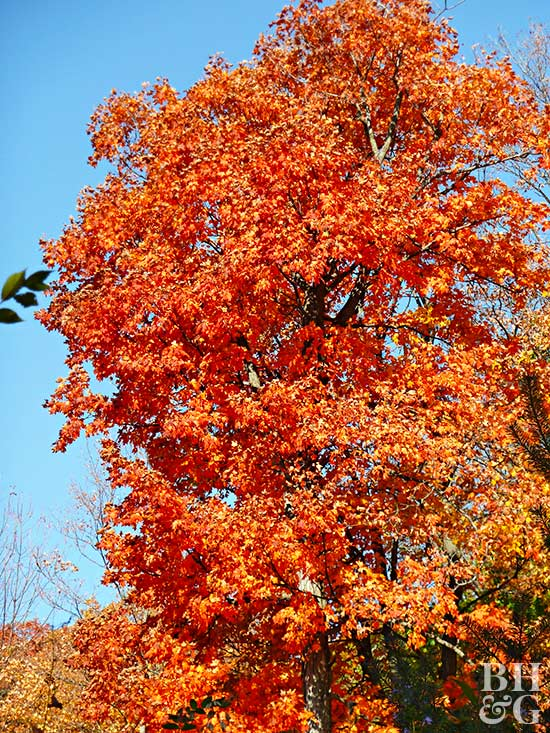 e0ed50cf421 18 Marvelous Types of Maple Trees You Should Be Growing