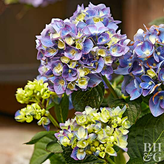 5 Interesting Facts You Didn't Know About Hydrangeas