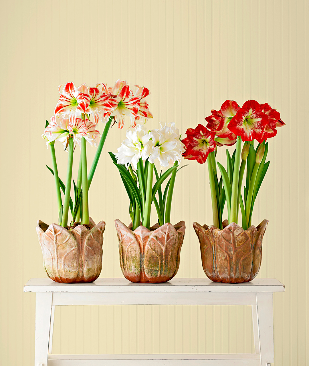 How to Plant Amaryllis in a Pot