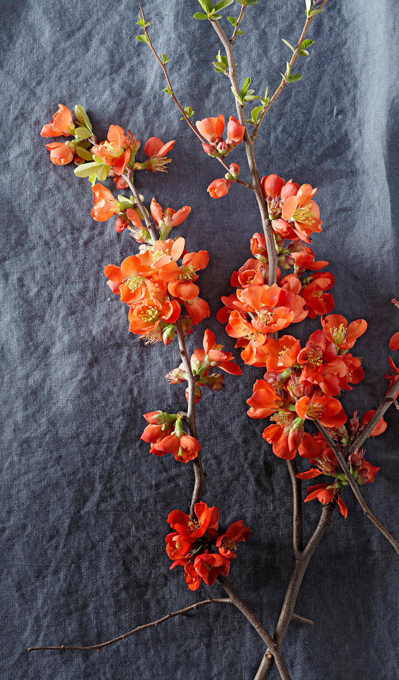 two flowering branches of orange quince