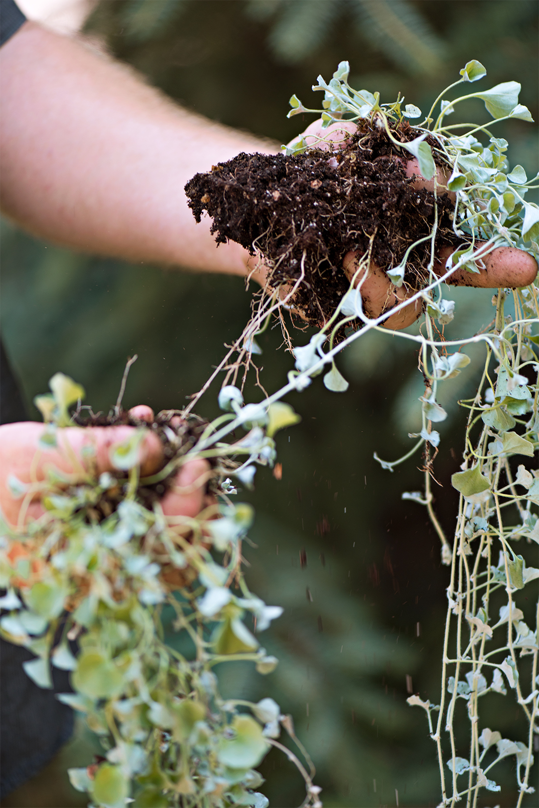 outdoor plant propagation separate roots potting soil