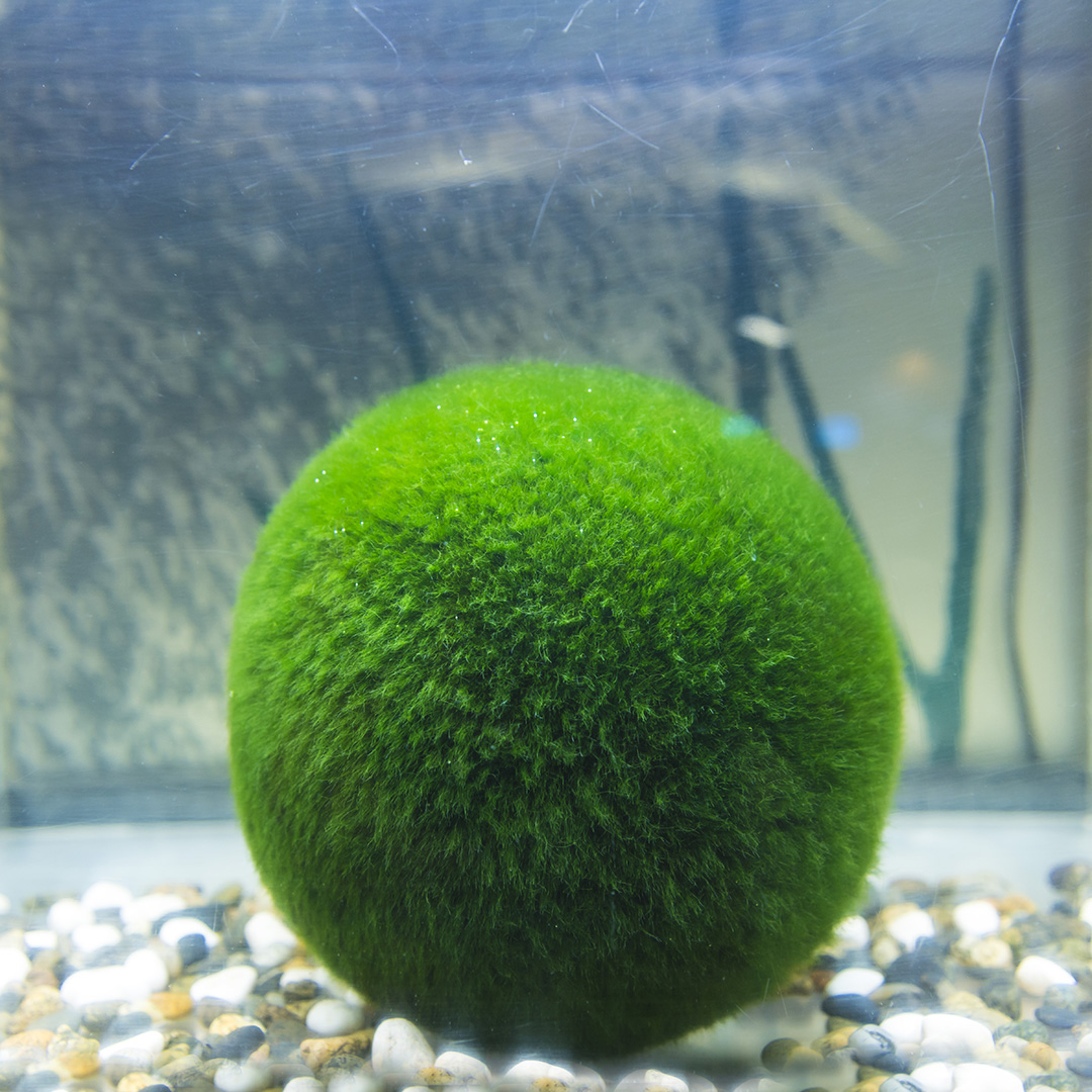 See Why Marimo Moss Balls Are Our New Favorite Plants