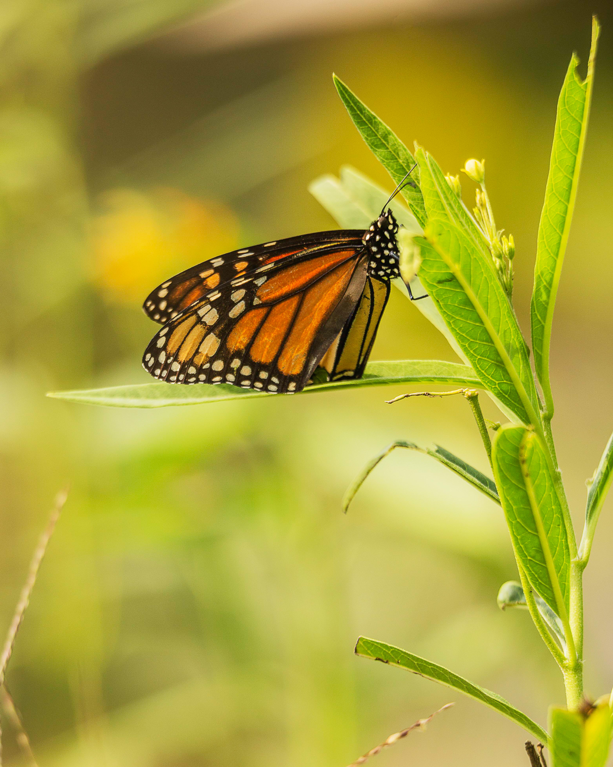 Monarch Butterflies Are On the Verge of Endangerment