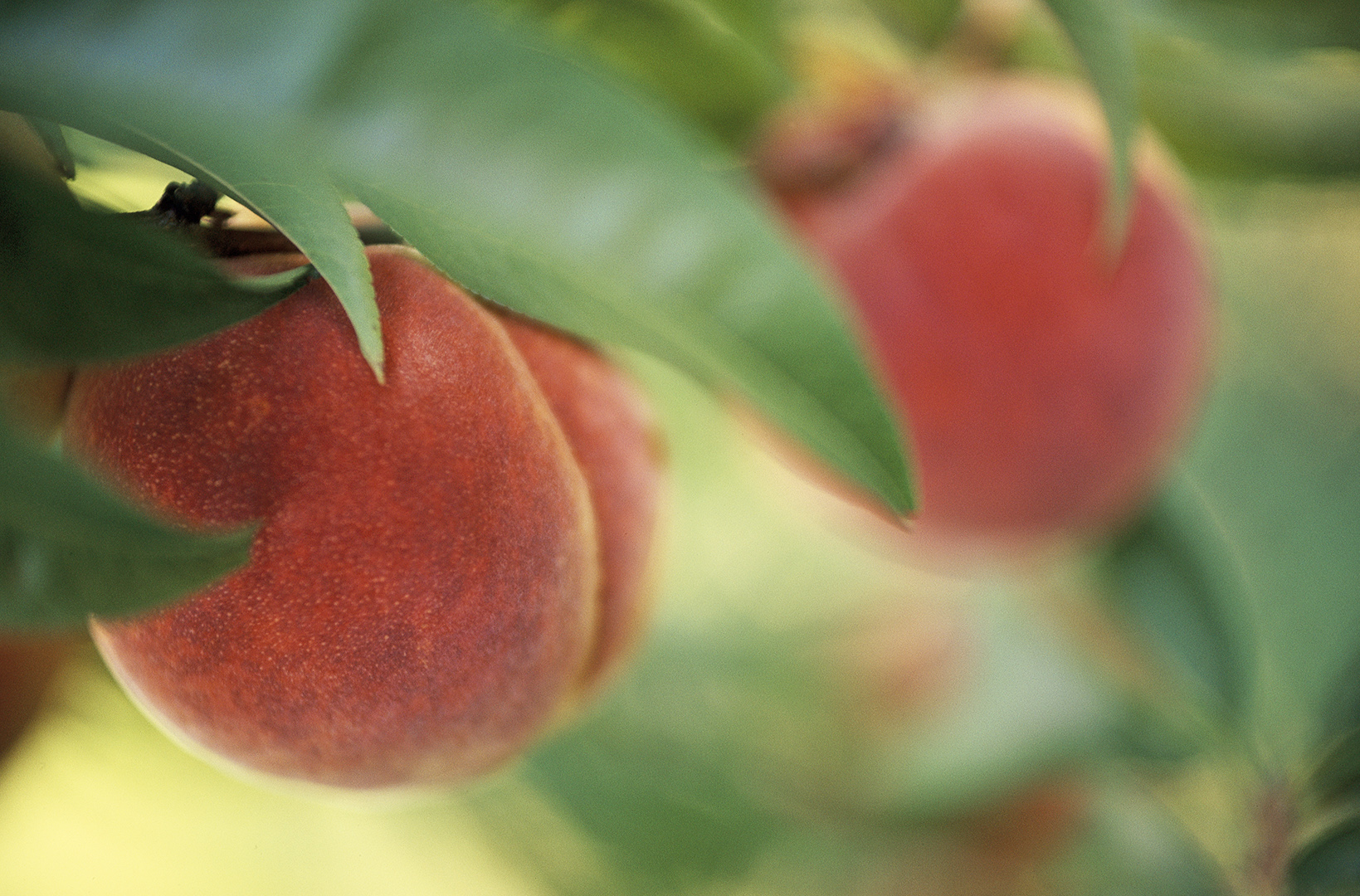 Peach Tree Diseases and Pests