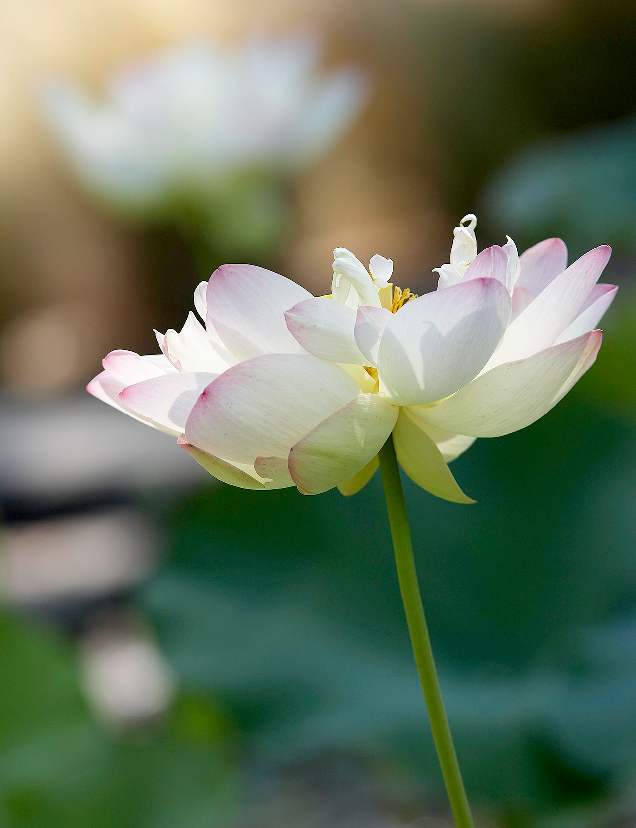 white lotus flower with high depth of field