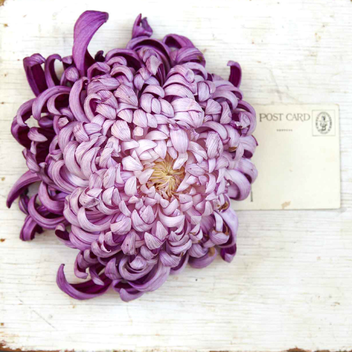 shades of purple Chrysanthemum 'King's Ransom' mum bloom next to postcard to show size of flower