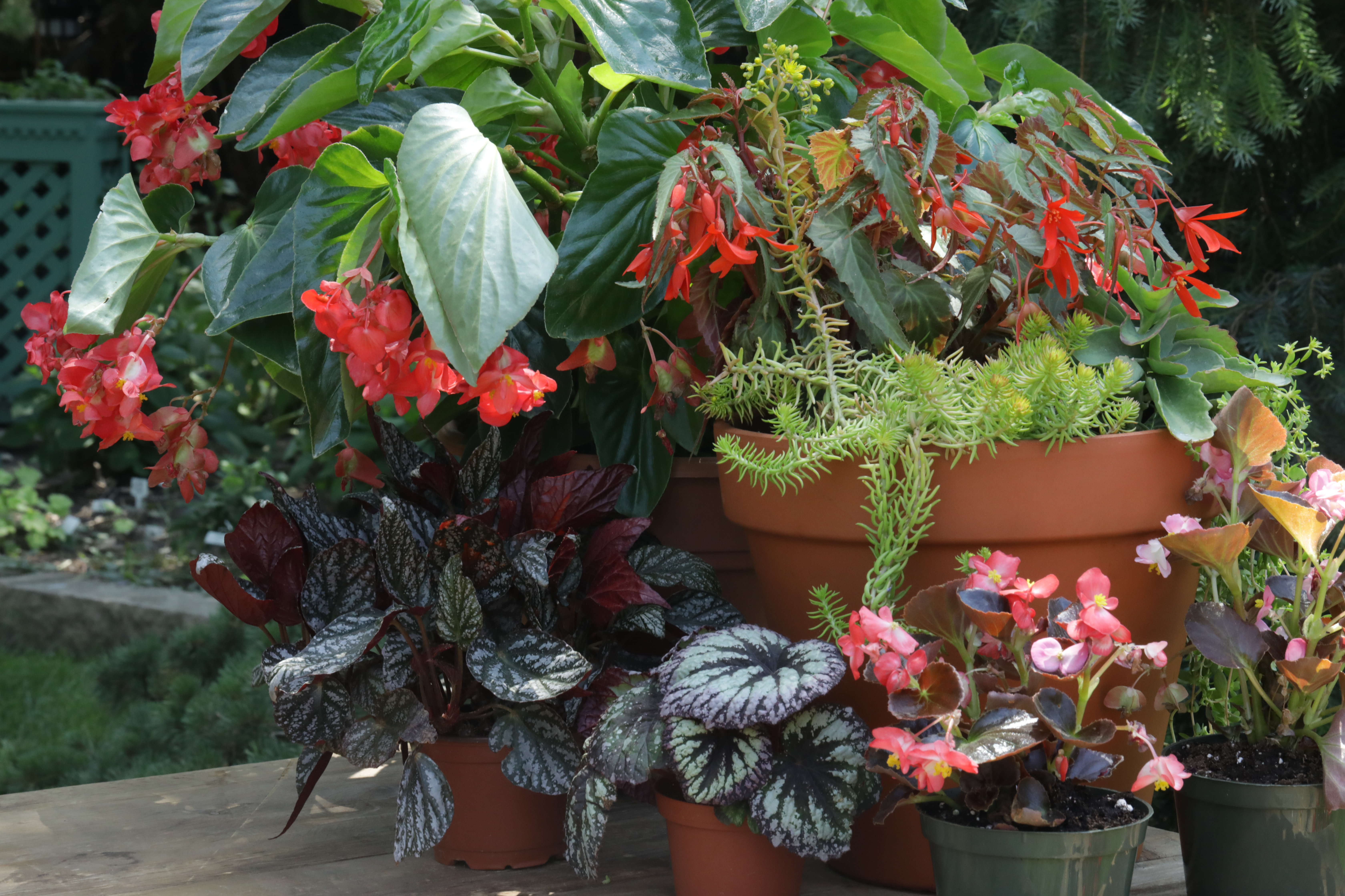 Begonia Care Tips and Varieties You Should Try