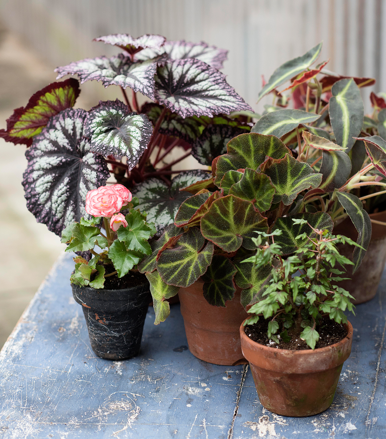 small pots with variety of begonia plants