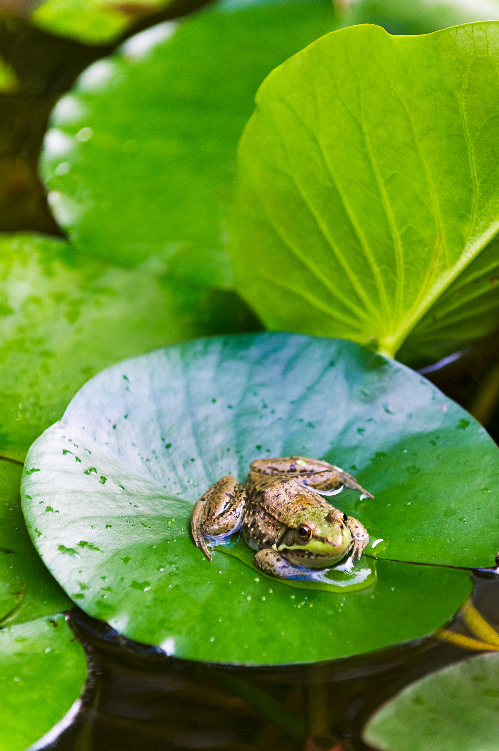 green frog on lily pad in water garden
