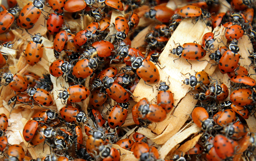 Ladybug-Like Beetles May Burrow into Your Dog's Mouth This Season, Experts Say