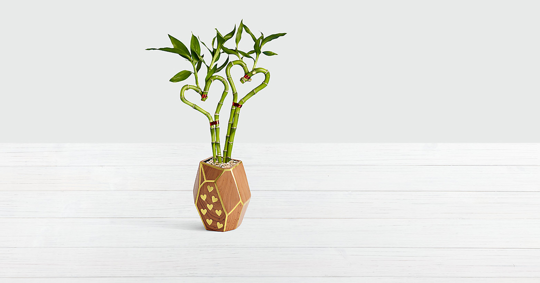 potted lucky bamboo plant in the shape of two hearts in wood pot