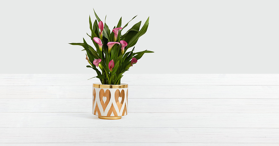 Potted pink calla lilies in a gold and white  porcelain pot