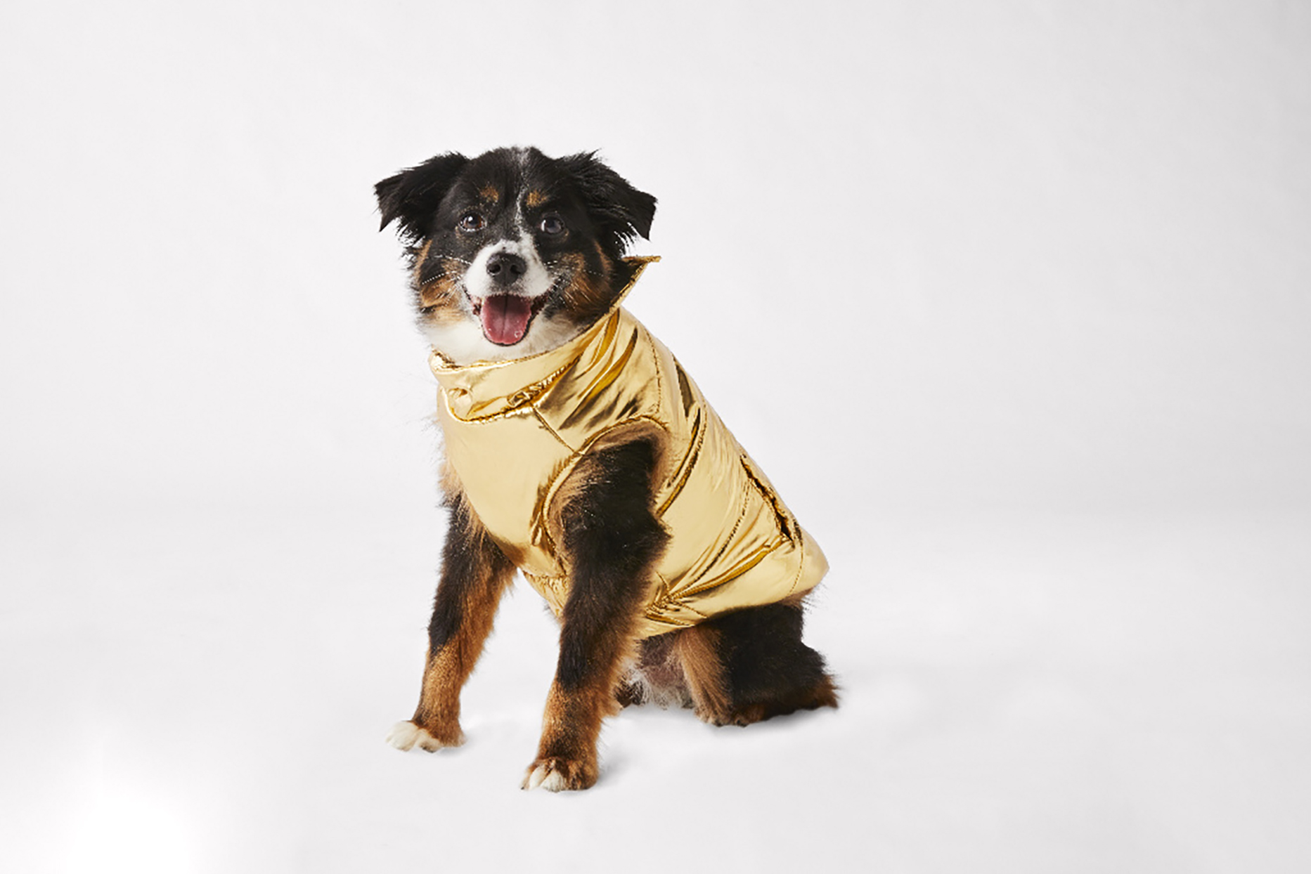Fluffy black, brown and white colored dog with metallic gold coat