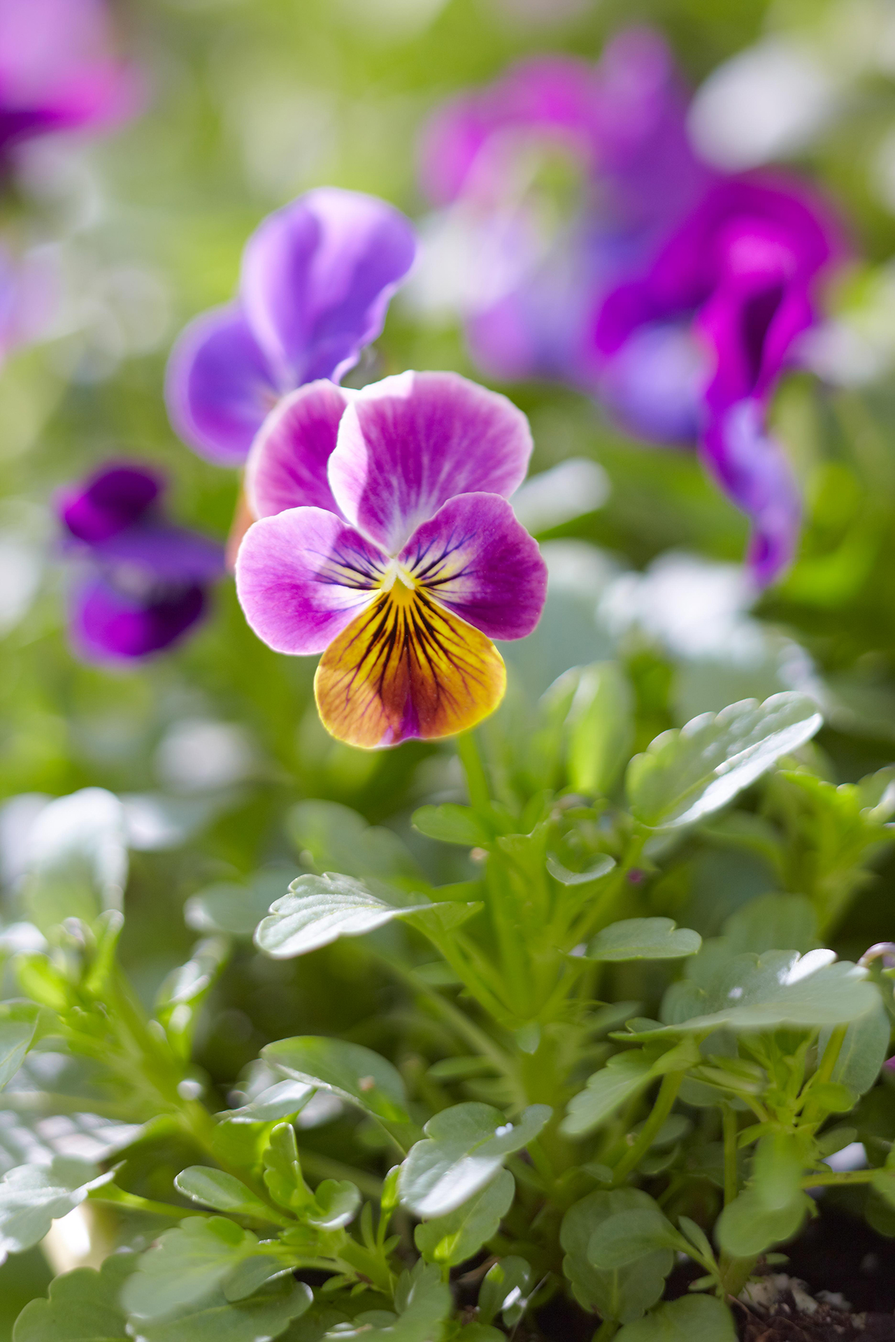 6 Surprising Facts About Pansies You Probably Didn't Know