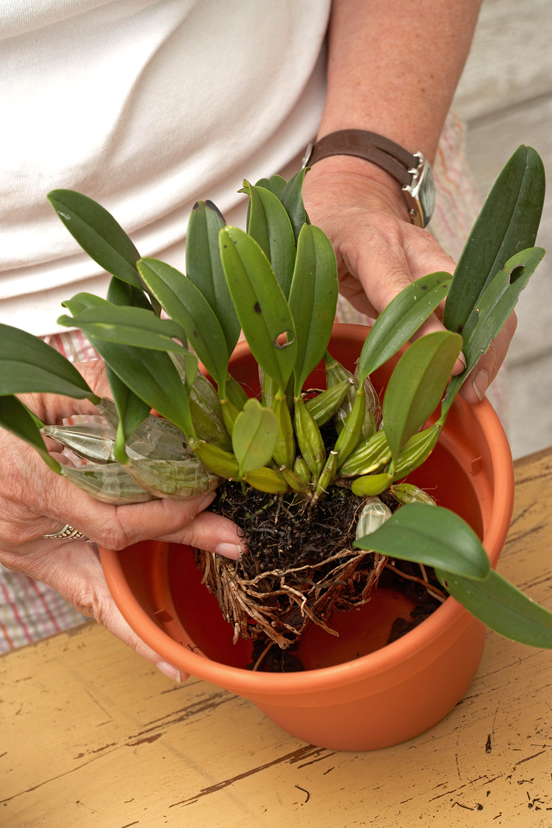 person placing orchid plant in terra cotta pot