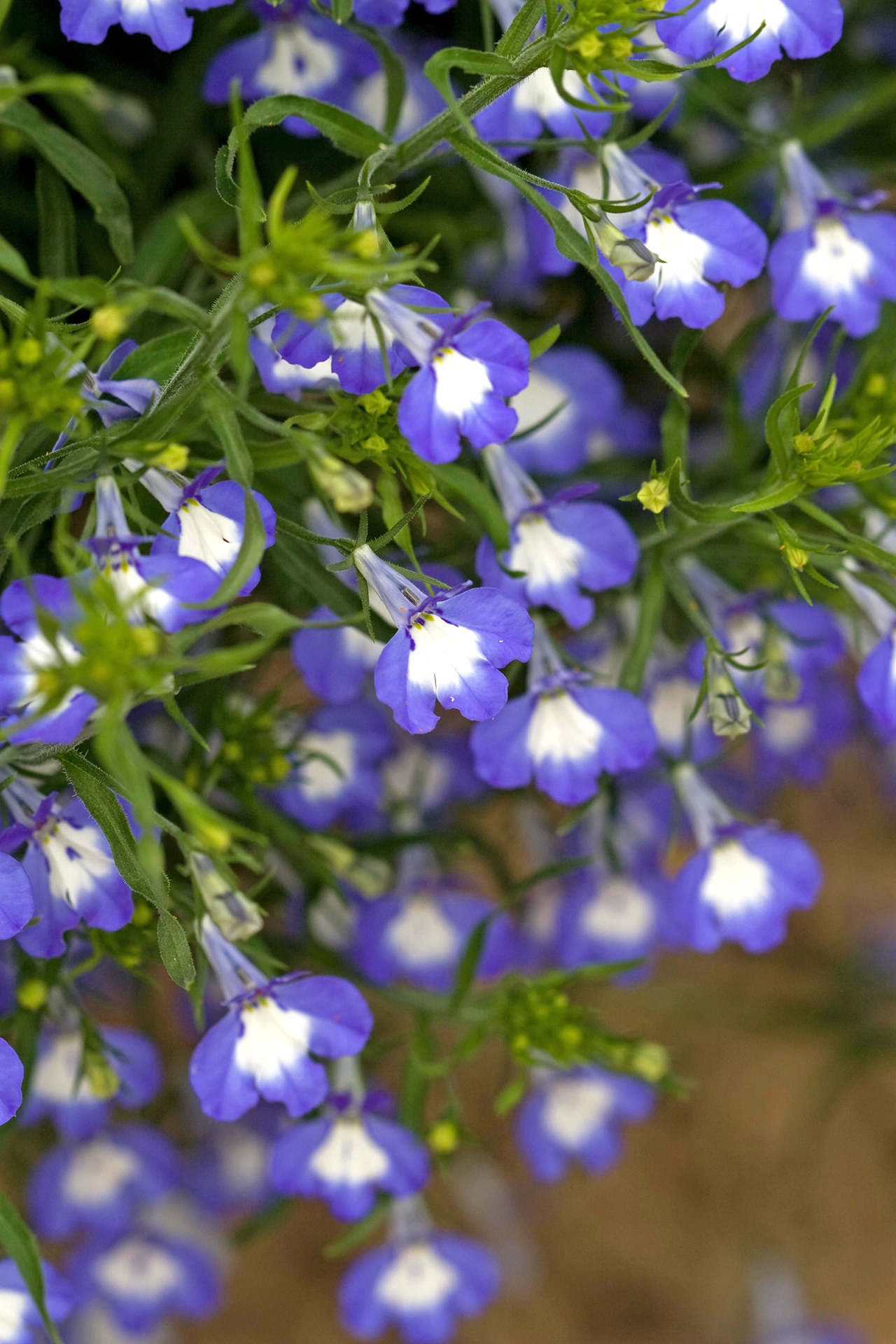 14 Gorgeous Annuals To Grow In The Shade