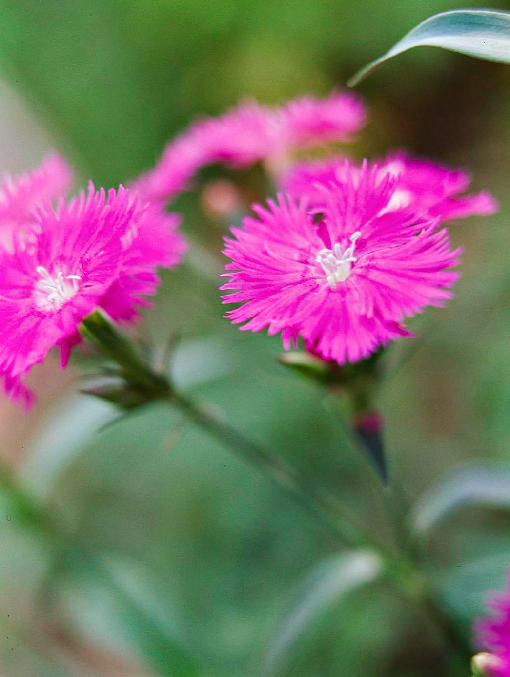 dianthus perennial pink flowers