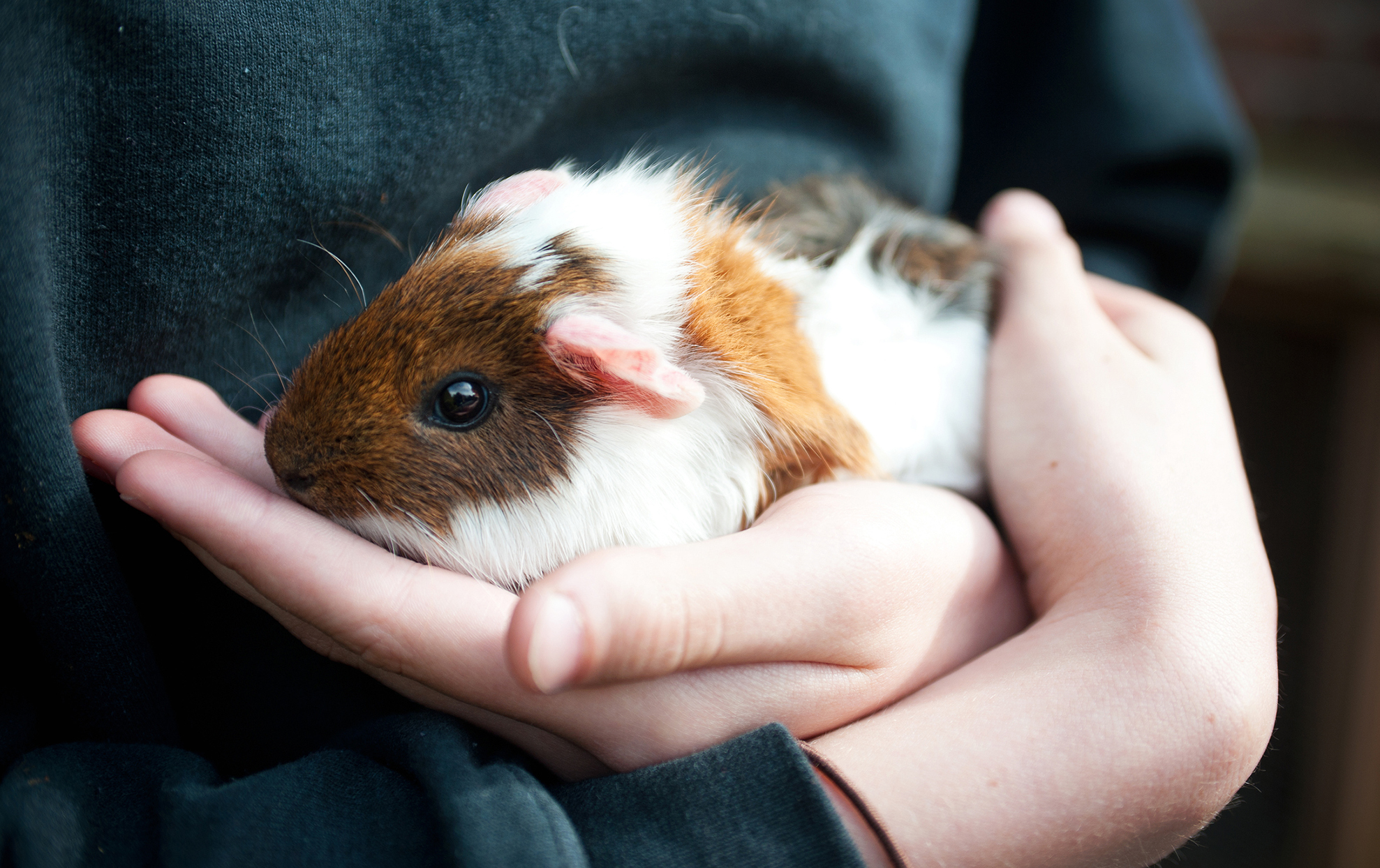 A guinea pig being held in someone's hands