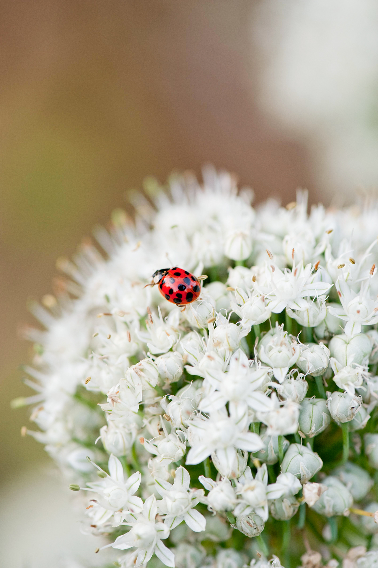 lady bug on small white flowers