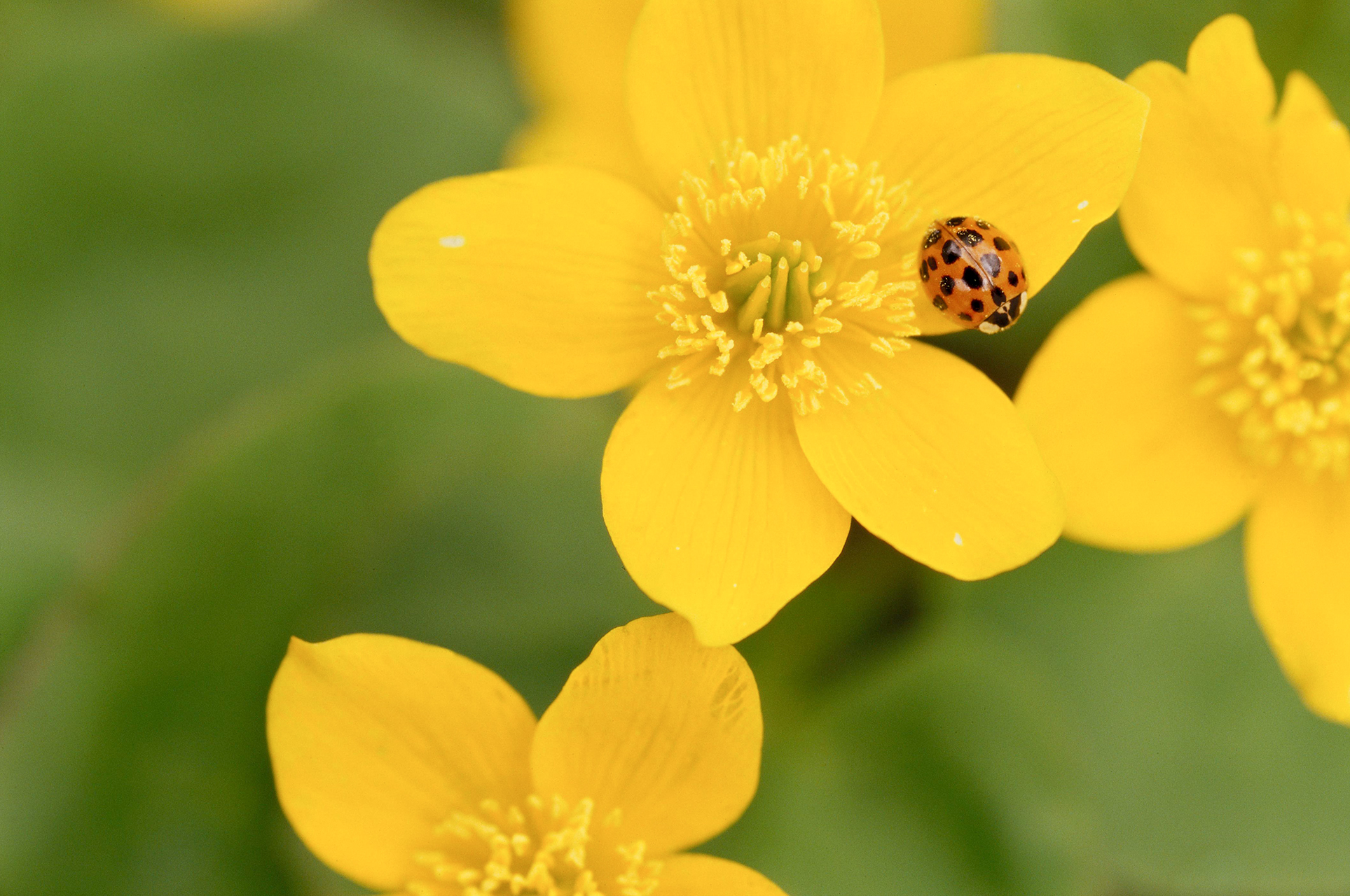 asian beetle on yellow flower