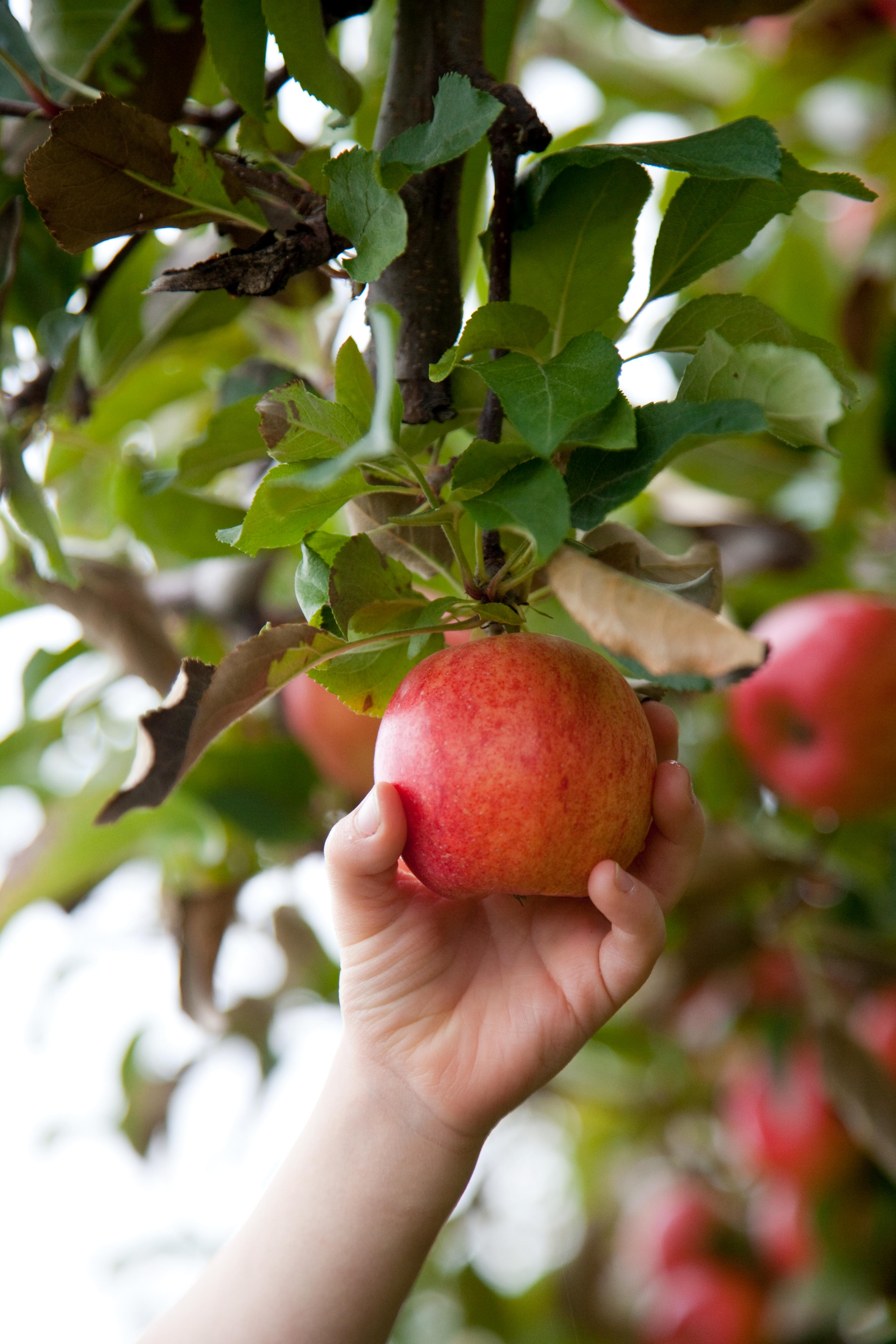 red apple getting hand-picked from tree