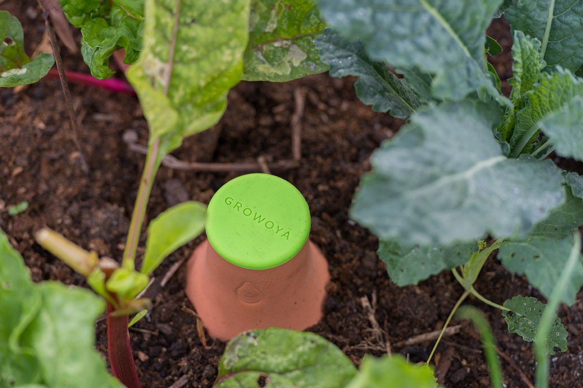 GrowOya terracotta vessel with lime green top plug buried in garden bed with kale plants