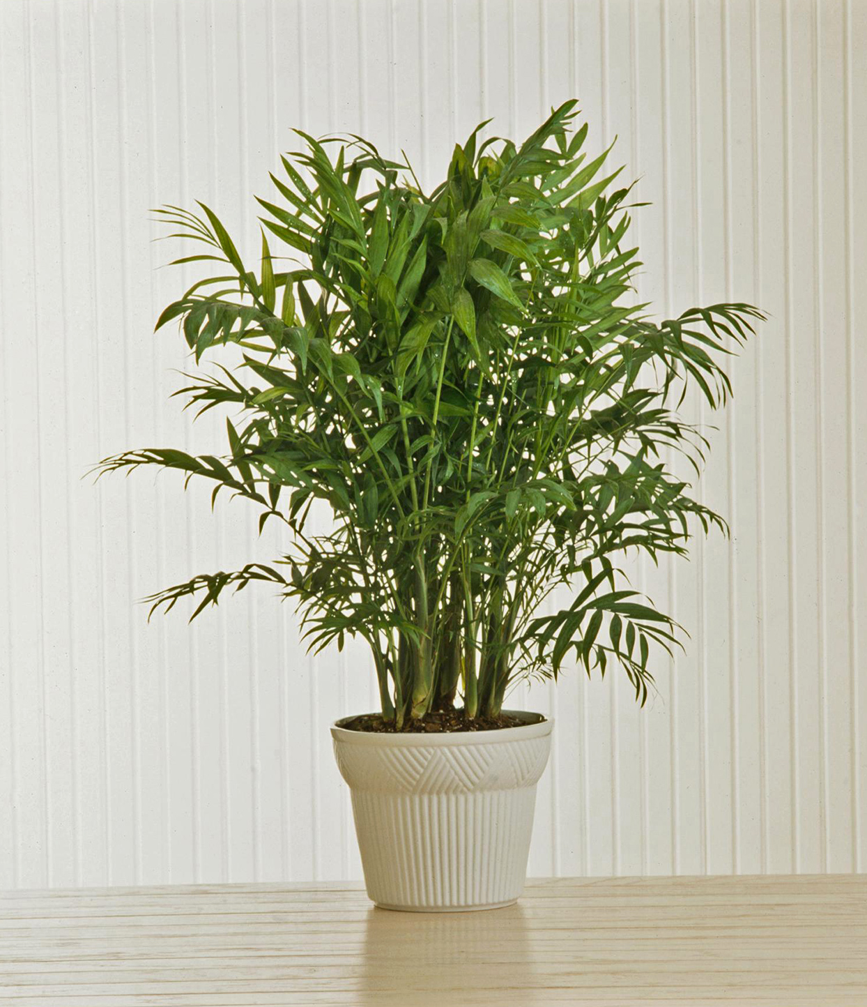 Parlor Palm in cream colored pot