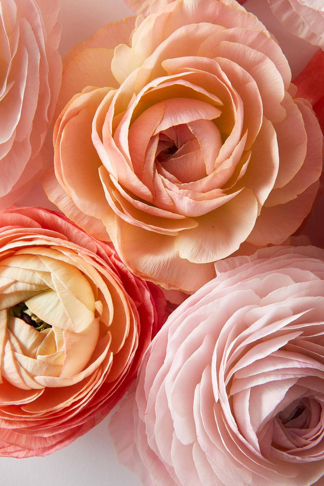 4 Facts Every Ranunculus-Lover Needs to Know