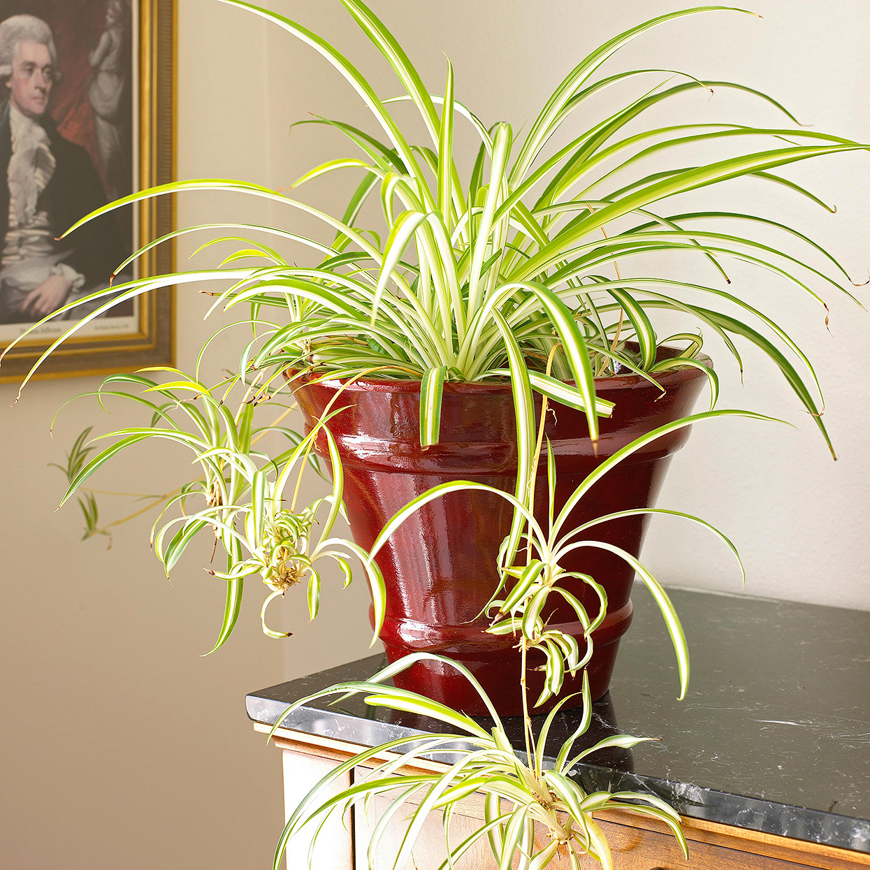 Spider Plant Better Homes Gardens