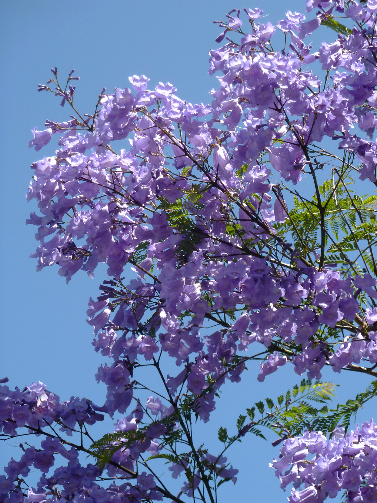 Jacaranda Trees Are Blooming Right Now in Southern California