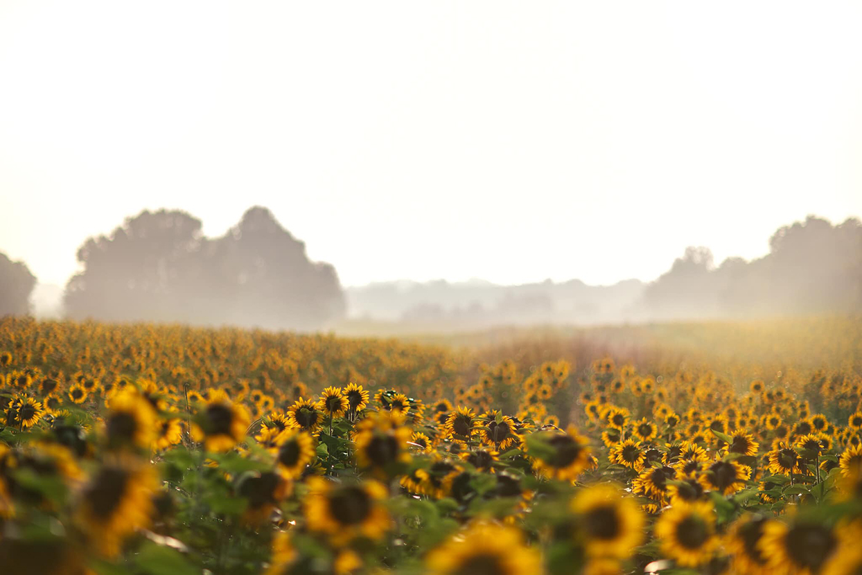 The Top 12 Most Beautiful Sunflower Fields in the U.S.