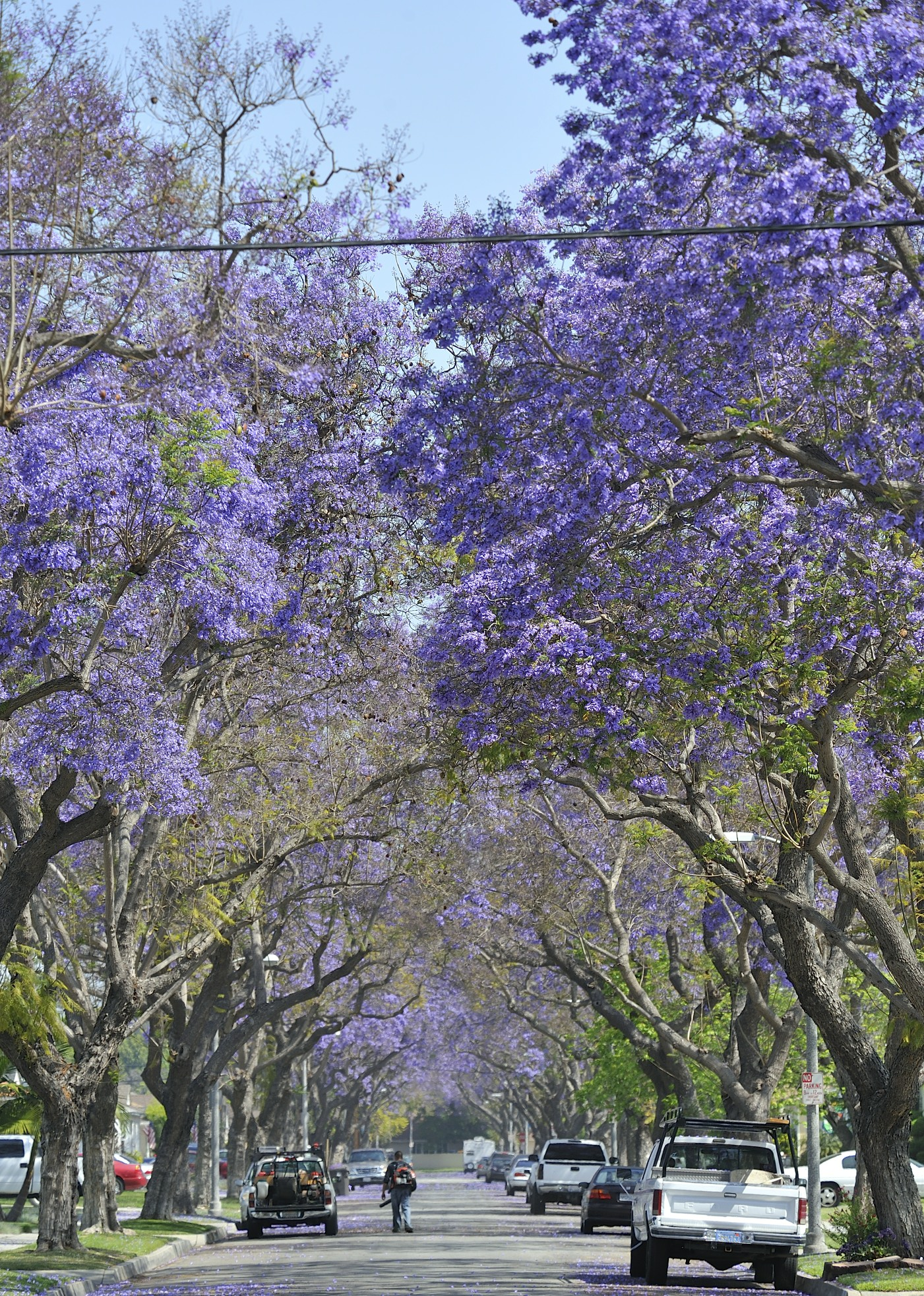 Jacaranda Trees Are Blooming Now in Southern California ...