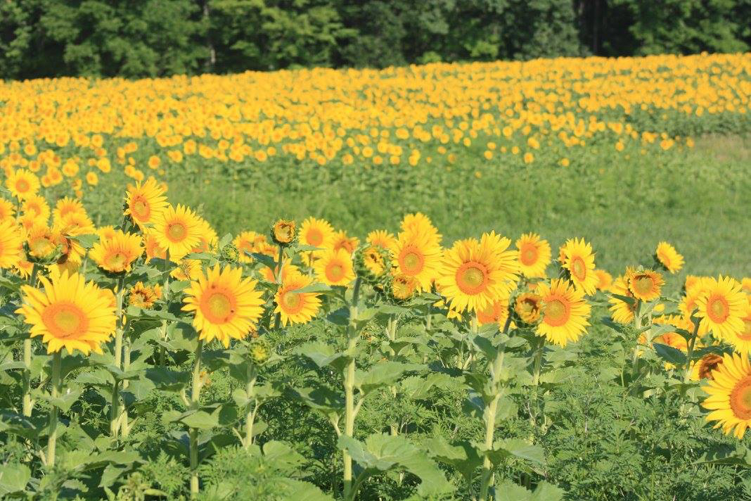 Field of yellow sunflowers with orange centers