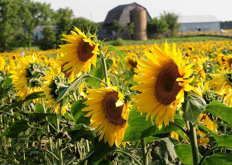 Close up of yellow sunflowers with brown centers with barn and silo in background