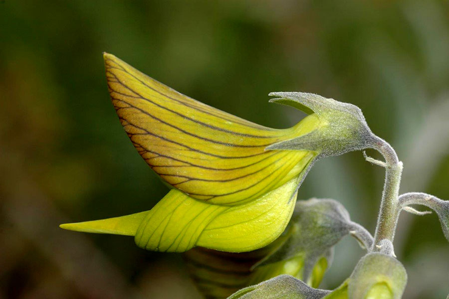 You Can Grow Flowers That Look Like Hummingbirds