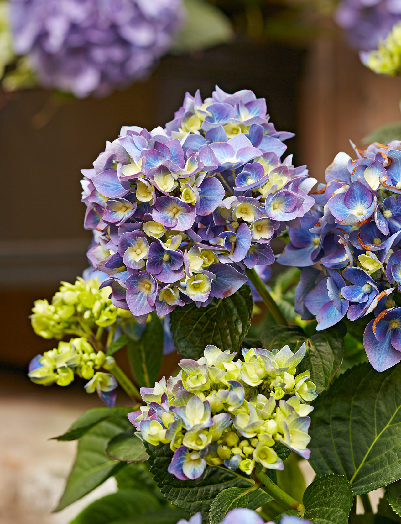 6 Interesting Facts You Didn't Know About Hydrangeas