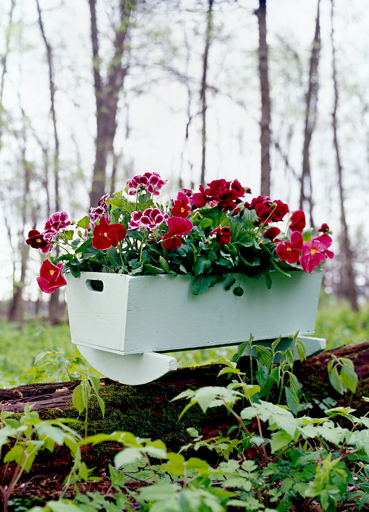 Plum and white geraniums and deep pink pansies in doll-sized planter