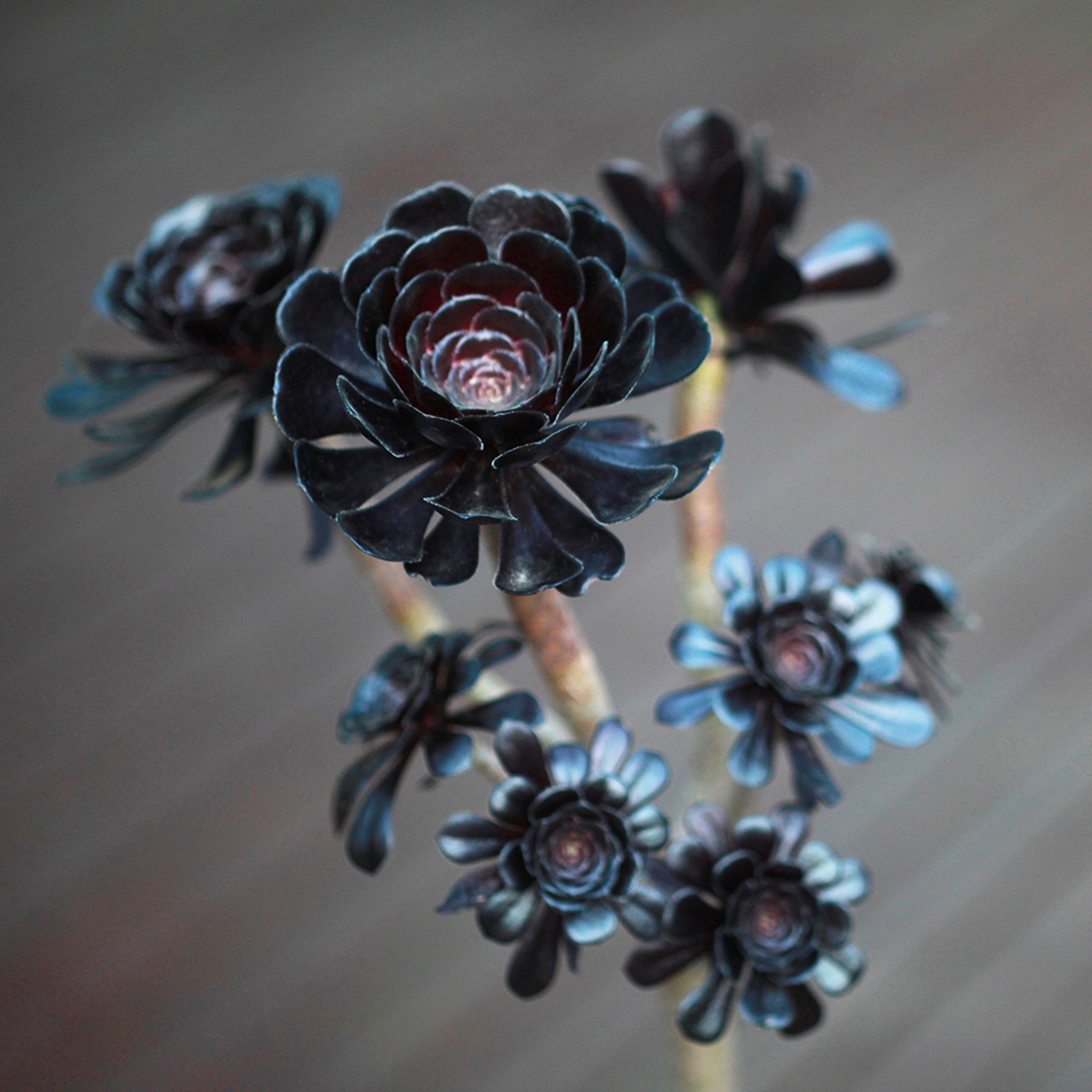 Black Succulents Will Turn Your Home Into a Haunted House This Fall
