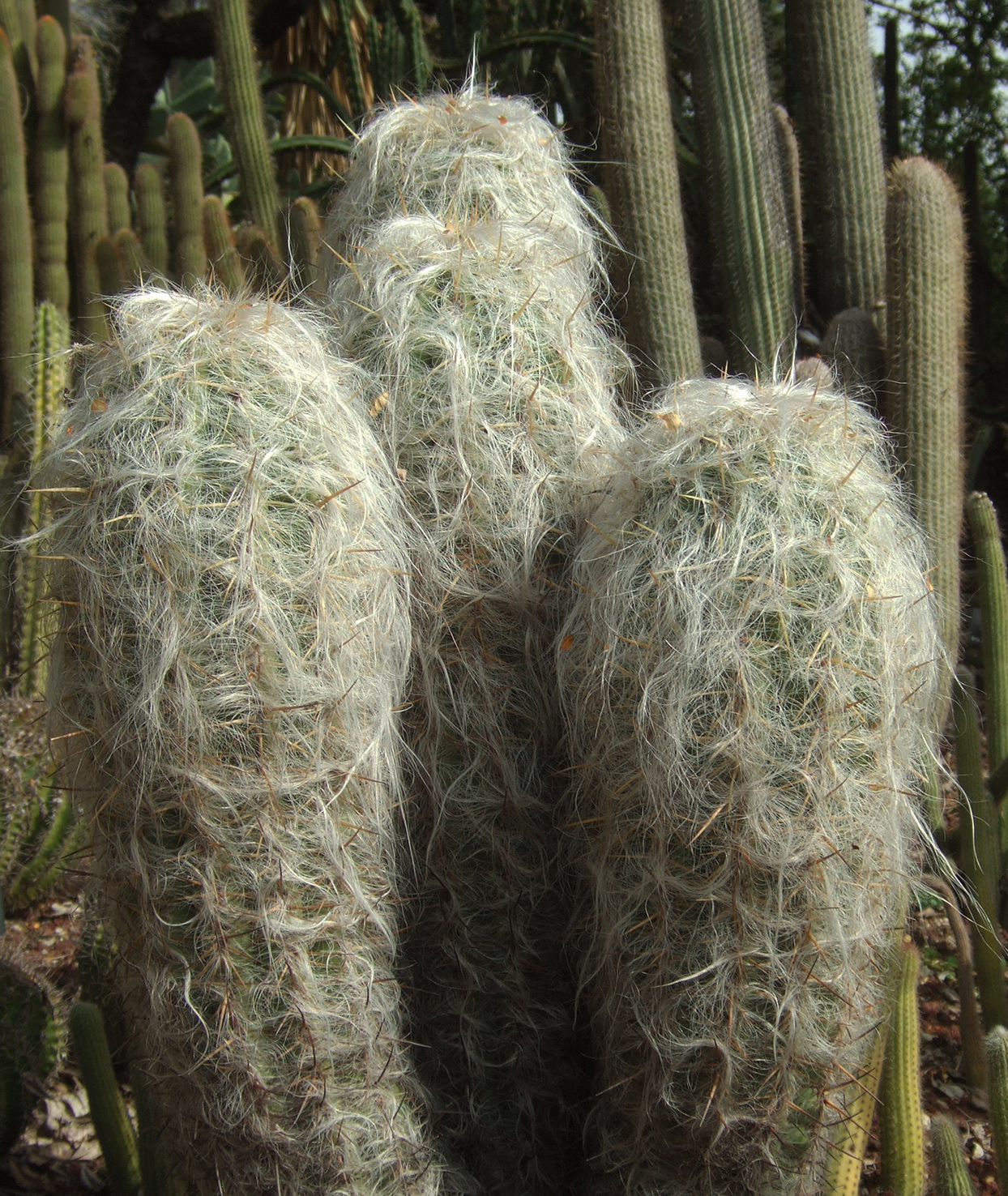 Old Man Cacti outdoors