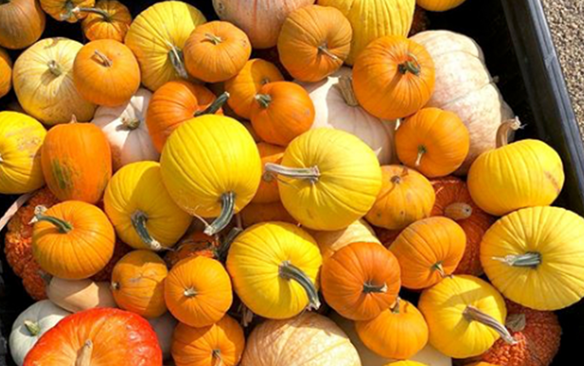 Pile of yellow, orange, and white pumpkins in truck