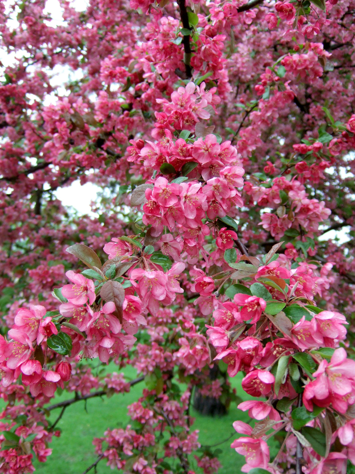 Best Types Of Crabapple Trees For Your Yard Better Homes Gardens