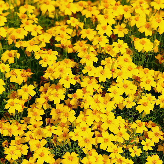 Lemon Gem Marigolds