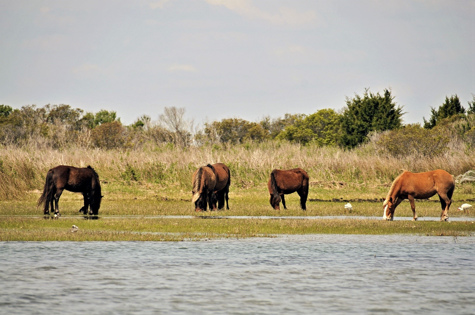North Carolina's Famous Wild Horses Emerge from Hurricane Florence Unscathed