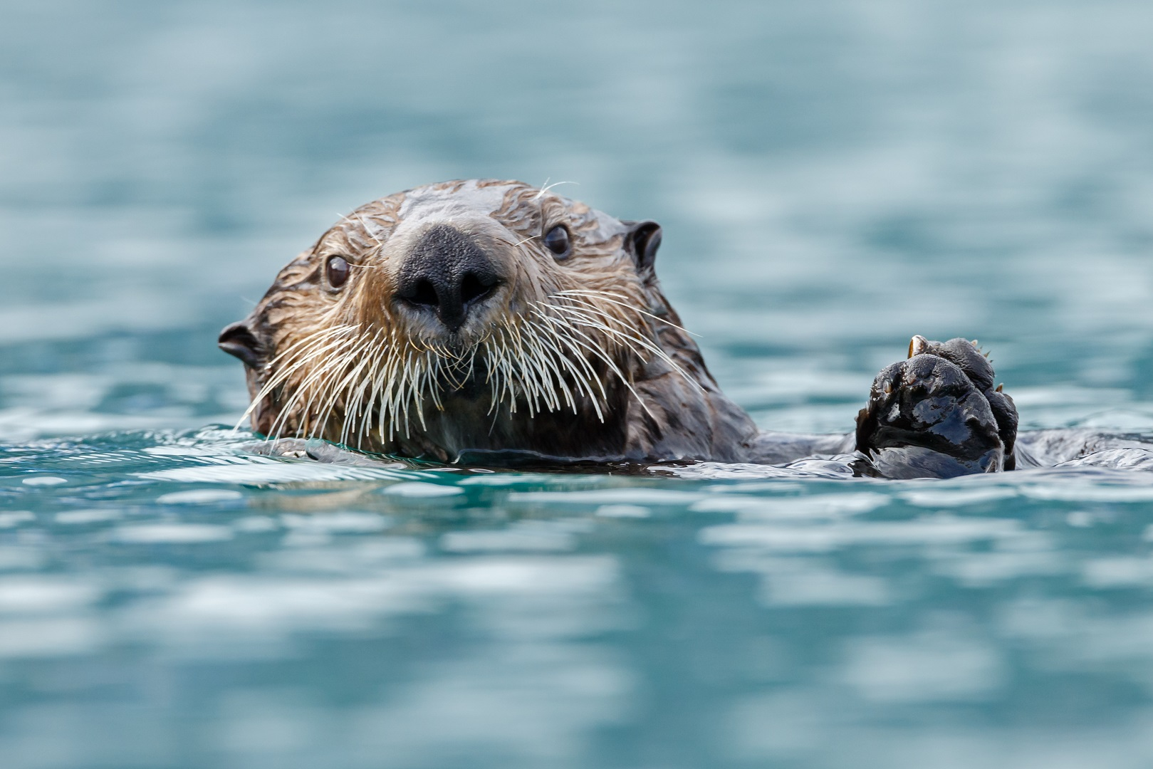 Closeup Sea Otter In Water