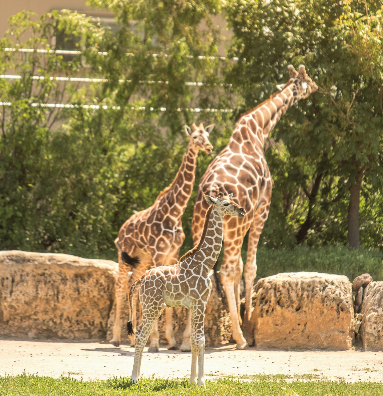 A Baby Giraffe Was Born in Front of Guests at Disney World — and Now You Can See It on Safari