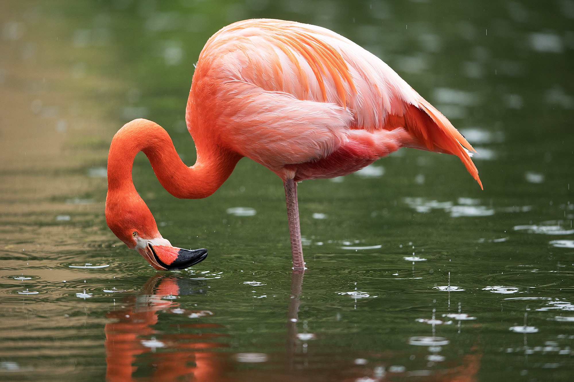 Flamingo Standing in Water